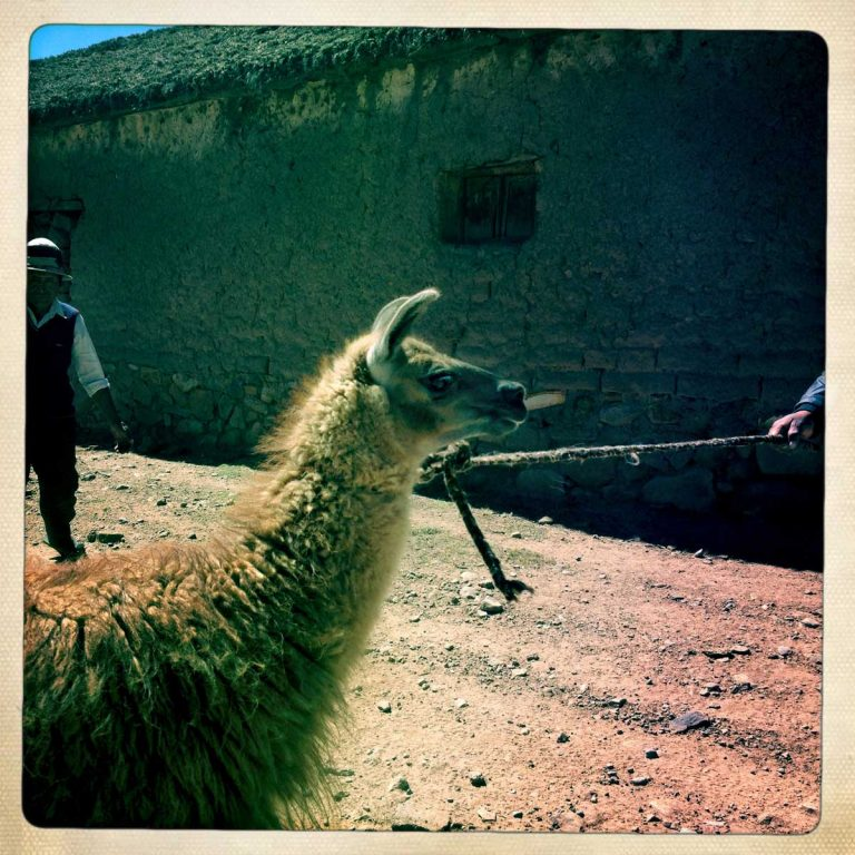 K'aria, Potosì department, Bolivia. May 2014. A lama is about to be sacrificed. Killing a lama and drinking its blood is part of the Tinku tradition. Tinku is a traditional festival of Pachamama (Mother Earth) where farmers ask for a good coming harvest through blood sacrifice.