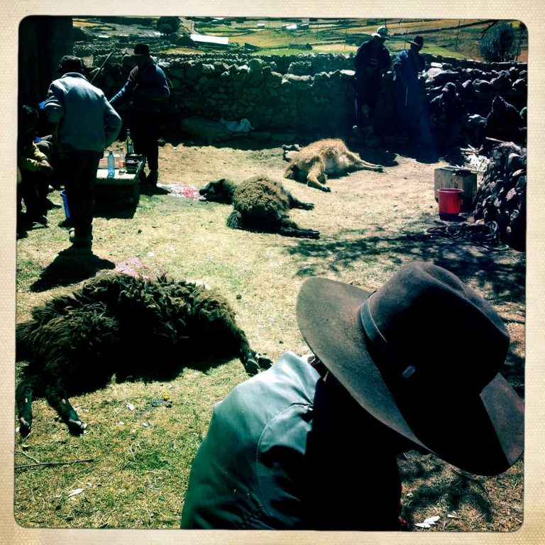 K'aria, Potosì department, Bolivia. May 2014. Three lamas have just been sacrificed to Pachamama. Killing a lama and drinking its blood is part of the Tinku tradition. Tinku is a traditional festival of Pachamama (Mother Earth) where farmers ask for a good coming harvest through blood sacrifice.