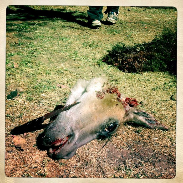 K'aria, Potosì department, Bolivia. May 2014. Killing a lama and drinking its blood is part of the Tinku tradition. Tinku is a traditional festival of Pachamama (Mother Earth) where farmers ask for a good coming harvest through blood sacrifice.